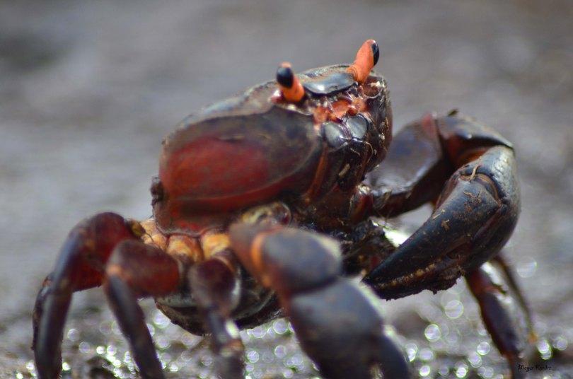 Indian_Crab
